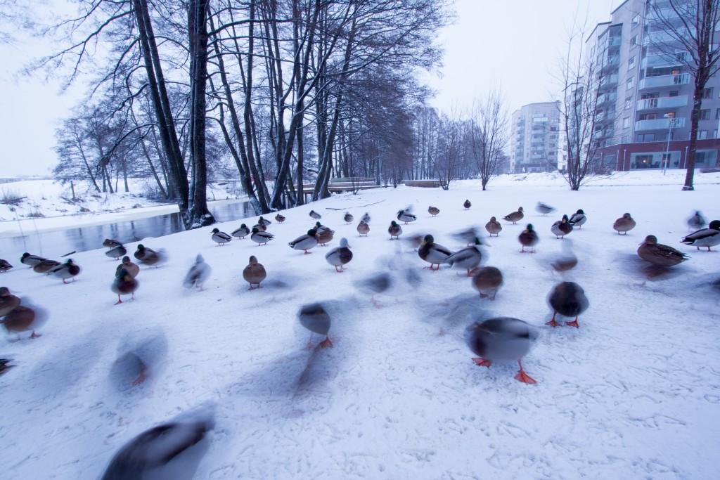 Gräsänder på Fyrisstrand  {Copyright 2015 © Martin Korinth}